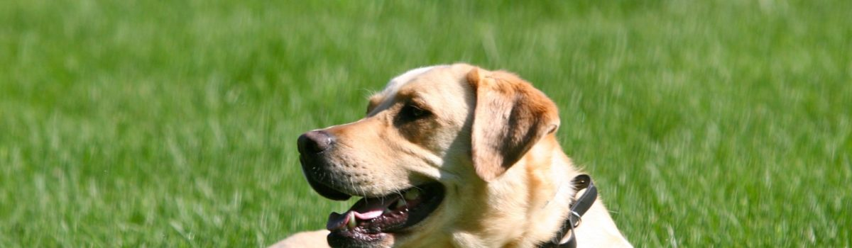 How important is your voice when dog training