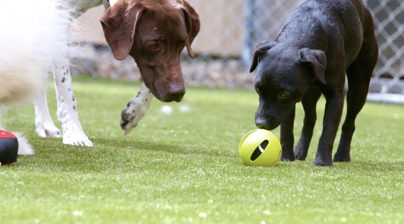 dog-boarding-turf