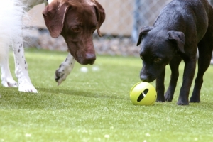 dog-boarding-turf