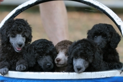 basket-of-puppies